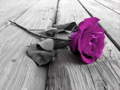 Fioletowa róża na deskach