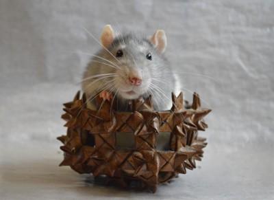 BG1463 Szczurek
