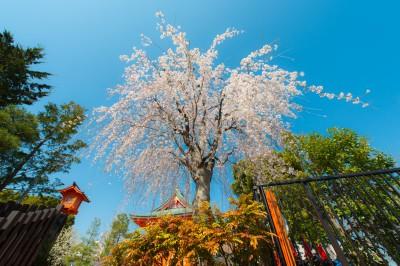 BG1467 Kwitnąca wiśnia