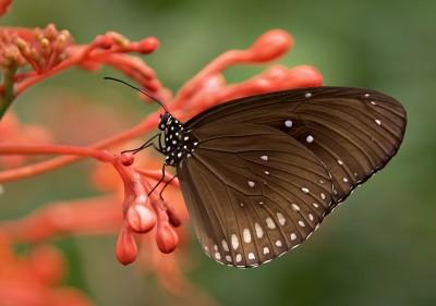 BG1505 Brązowy motyl