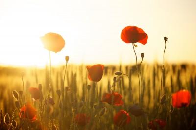 BG1511 Maki o wschodzie słońca