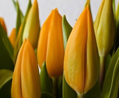 BG1537 Żólte tulipany