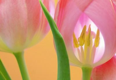BG1538 Różowe tulipany