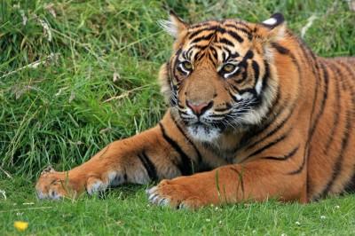 Spokojny tygrys
