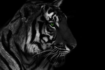 Tygrys w mroku