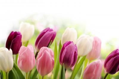 Piękne tulipany