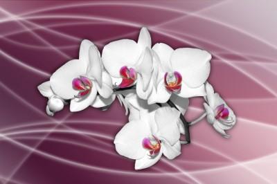 Storczyk na fioletowym tle