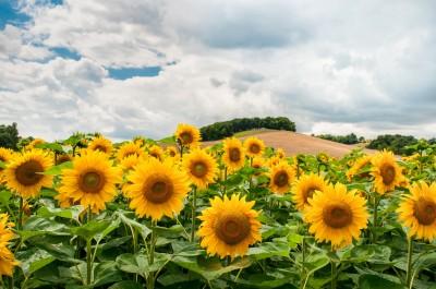 Pejzaż ze słoneczniki