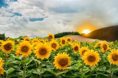 Krajobraz ze słonecznikami