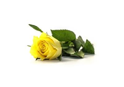 Żółta róża dla dziewczyny
