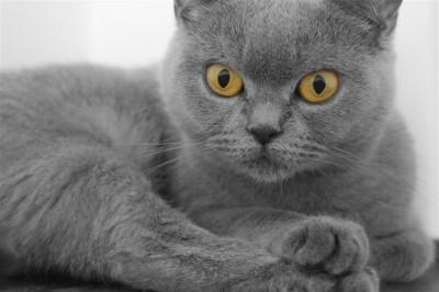 Szary kotek brytyjski krótkowłosy