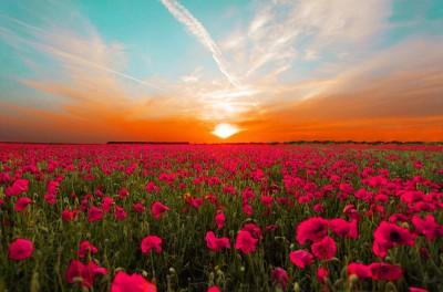 Różowe maki na tle zachodzącego słońca