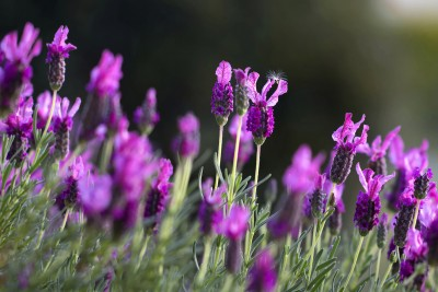 Kwiaty lawendy