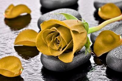 Herbaciana róża