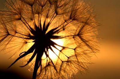 Zachód słońca i dmuchawiec