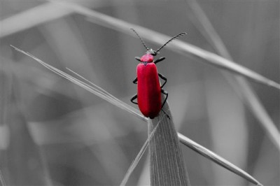 W Szczebrzeszynie chrząszcz brzmi w trzcinie