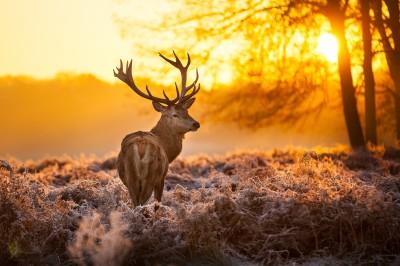 Jeleń o wschodzie słońca w lesie