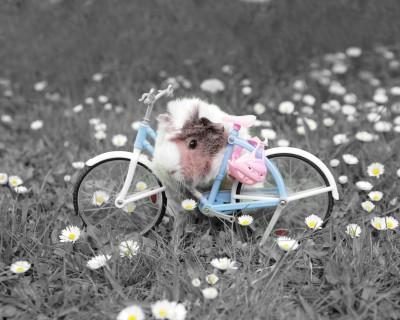 Świnka morska z rowerkiem