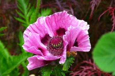 BG1457 Fioletowy kwiat