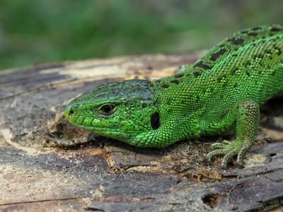 BG1474 Zielona jaszczurka