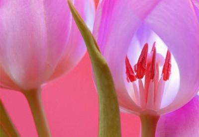 BG1539 Różowy tulipan