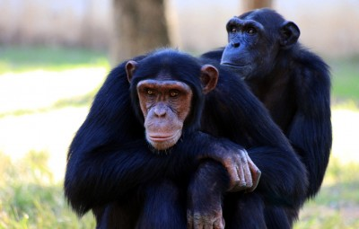 Spojrzenie szympansa