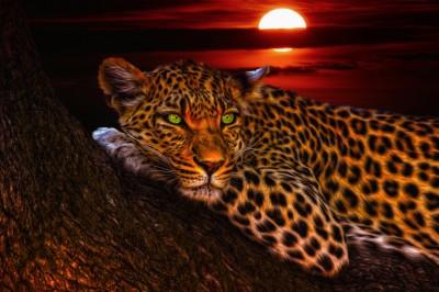 Lampart na polowaniu