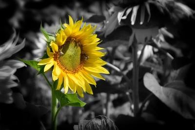Słonecznik na czarno-białym tle