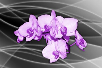 BG188_Ładny_kwiat_storczyk