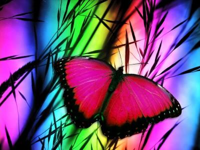 Fuksjowy motyl