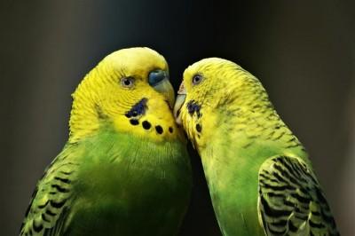 Zakochane papużki