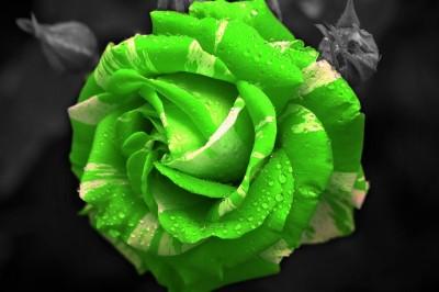 Limonkowa róża