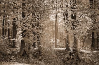 Las w kolorystyce sepii
