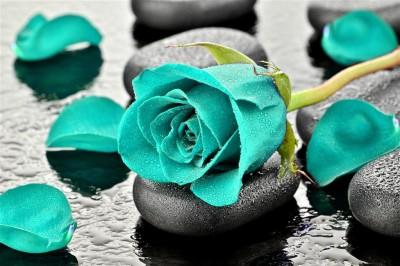 Turkusowa róża na kamieniach