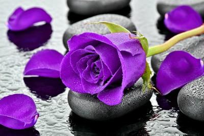Fioletowa róża na kamieniu