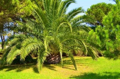 Wielka palma
