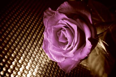 Róża - Fiolet i Sepia