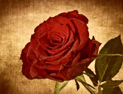 Róża na tle w kolorze sepii
