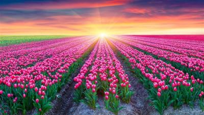 Morze tulipanów