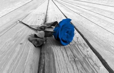 Róża Classic blue