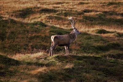 Jeleń na polanie