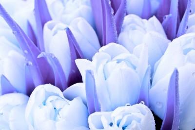 Niebieskie tulipany
