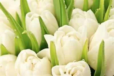 Delikatne tulipany