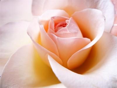 Pudrowa róża